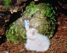 kakapo-223
